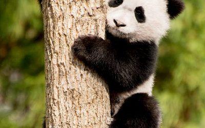 Ambitious Panda