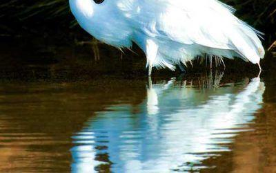 White Heron, Assateague MD