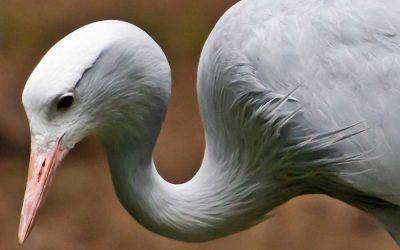 Elegant Fowl