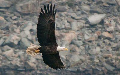 Graceful Eagle