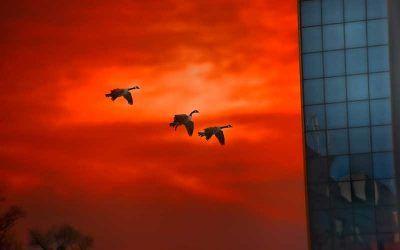 Geese Coasting into Rio