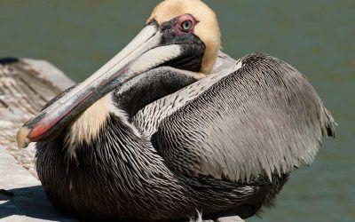 Pelcan Nesting