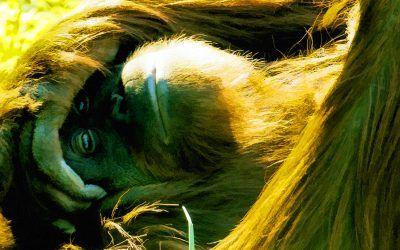 Orangutang Rest