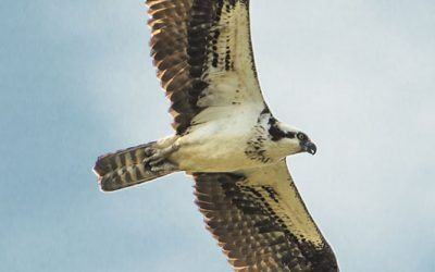 Osprey Overflight