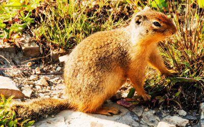 A Marmot Rascal